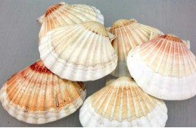 12 Ein. VIEIRA (BAY SCALLOP WHITE SINGLE)