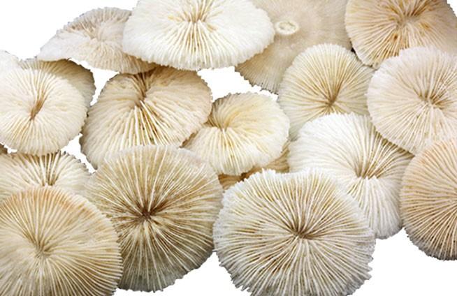 24 Ein. Koralle FUNGIA-CITES